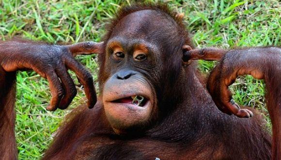 Gran mensaje de un orangután