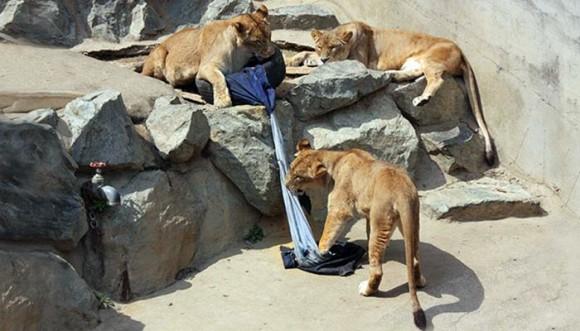 Leones y tigres también hacen jeans