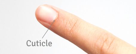 cuticle diagram