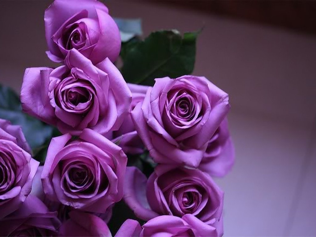 Purpuras