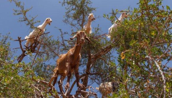 ¿Qué tienen que ver el Argán y las cabras trepadoras de Marruecos?