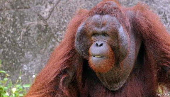Este orangután se emocionó al ver una mujer embarazada