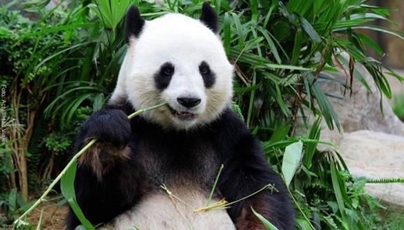 ¿En dónde está el panda? Reto visual