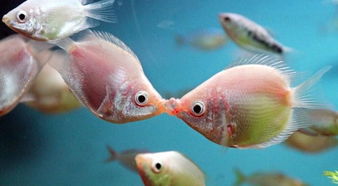 besador