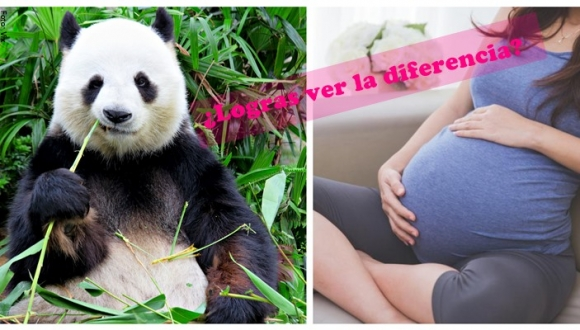 Panda finge embarazo para comer más
