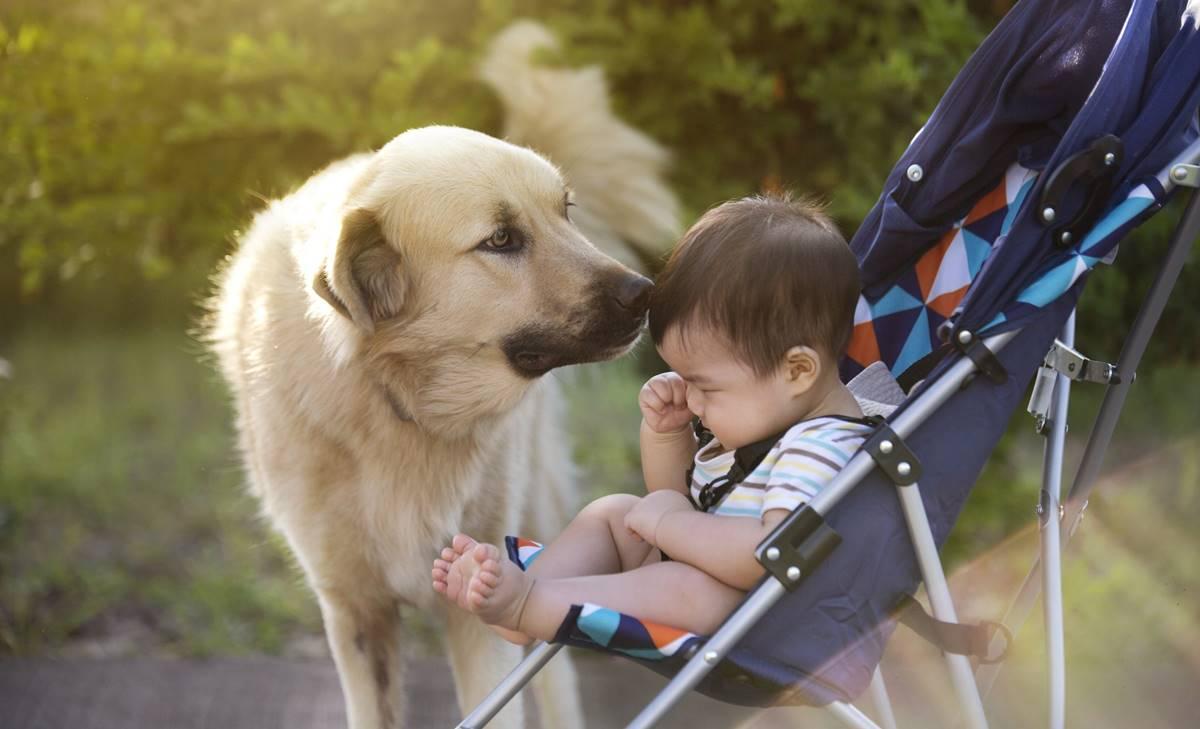 Golden retriever demuestra por qué son los mejores perros para niños