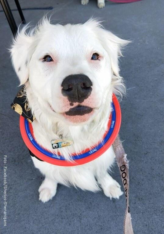 Shiro, el perrito que ayuda a diferentes animales rescatados.