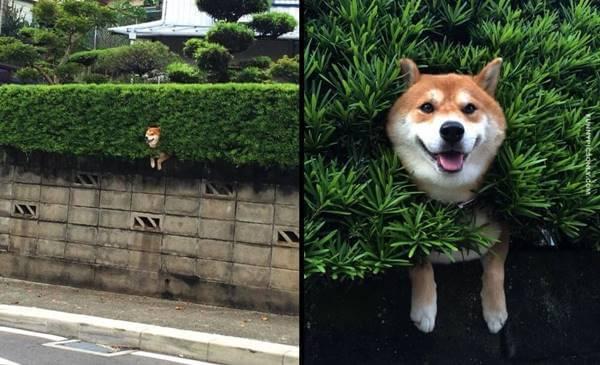 Foto de un perro atascado en una cerca viva