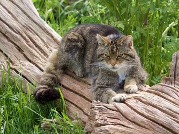 Foto de un gato salvaje