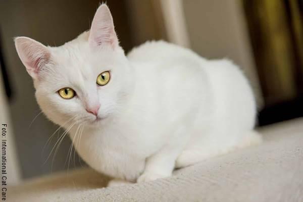 Foto de un gato blanco para ilustrar el significado de soñar con gatos