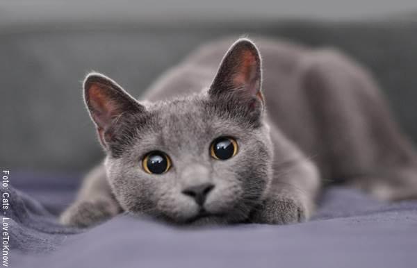 Foto de un gato gris
