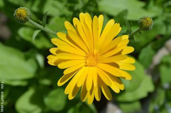Foto de una flor de caléndula