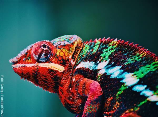 Foto de un camaleón