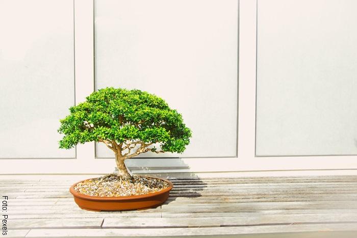 Foto de un bonsái contra una pared blanca