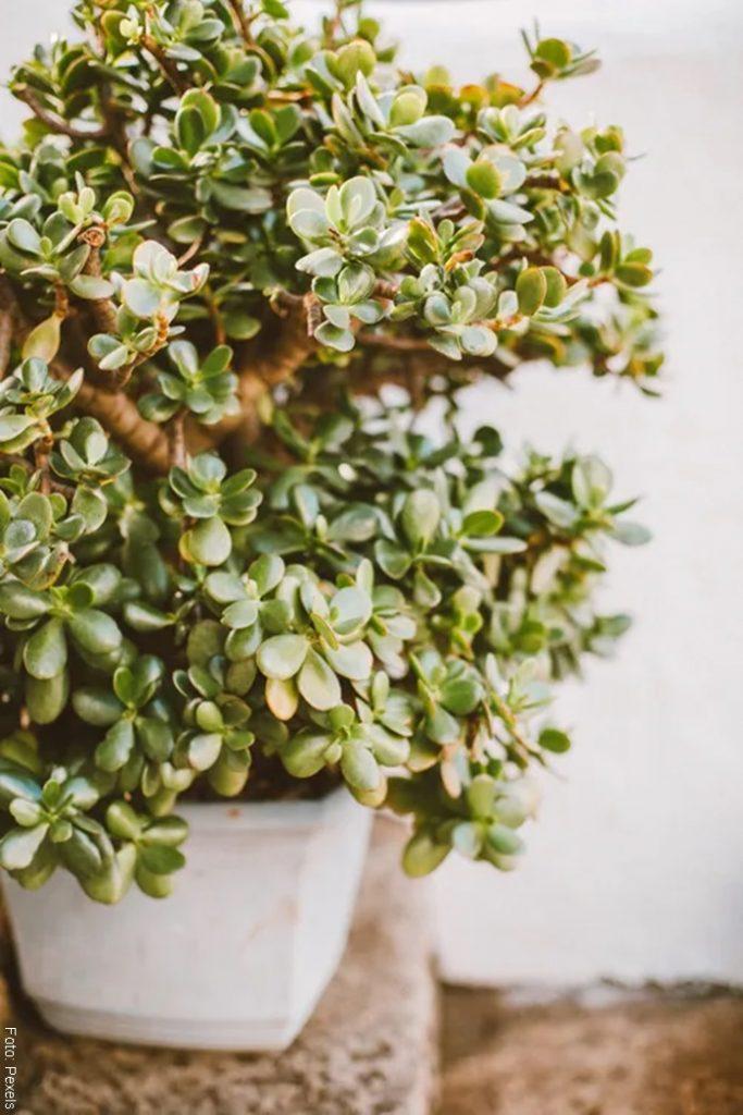 Foto de un árbol pequeño con las hojas muy verdes para ilustrar los cuidados de un bonsái