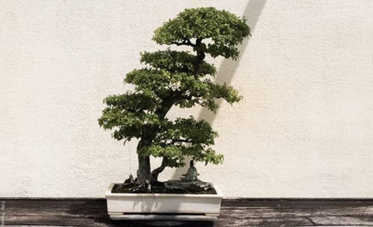 Cuidados de un bonsái, ¡lo que debes y no debes hacer!