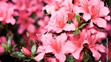 Foto de azaleas rosadas