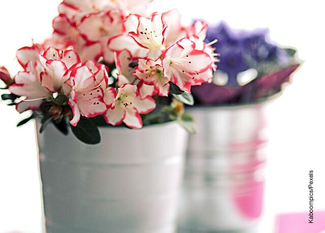 Foto de azaleas blancas en una maceta