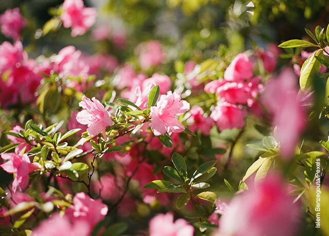 Foto de unas ramas con azaleas rosadas