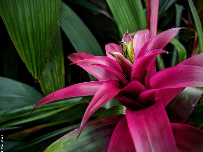 Foto de una flor de bromelia cuidados