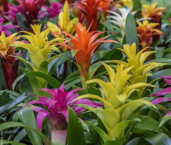 Foto de bromelias de varios colores