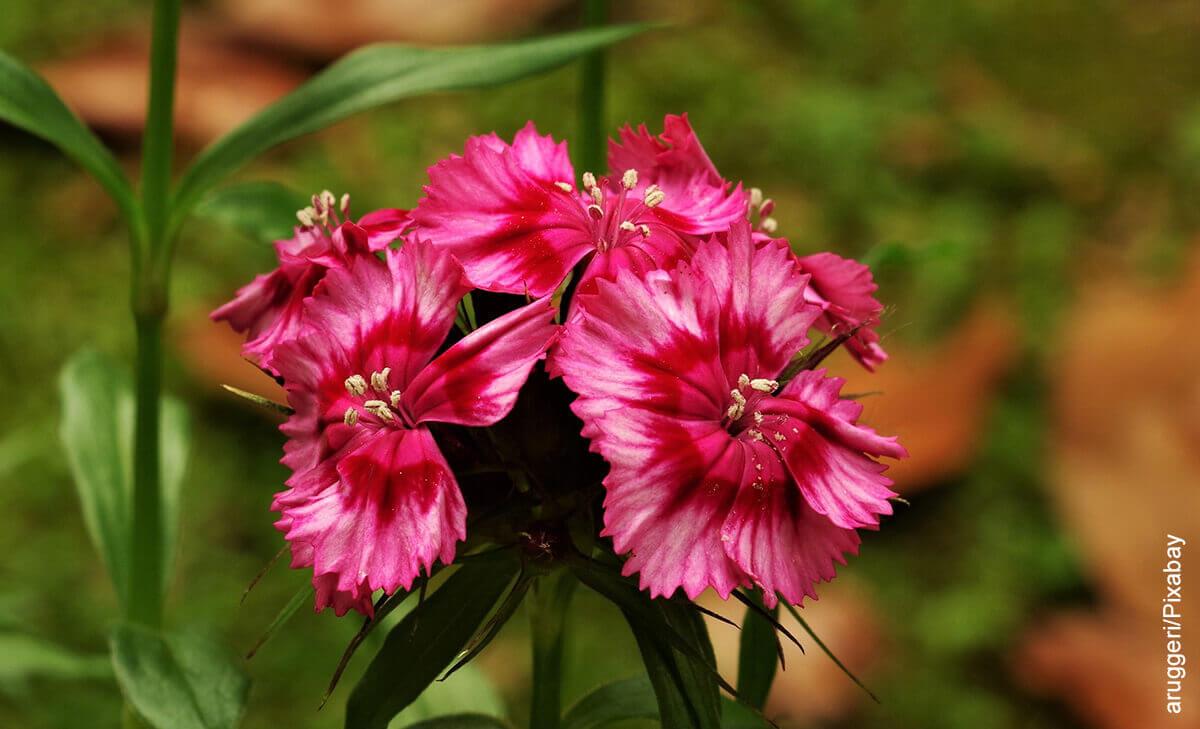 Foto de clavel rosado