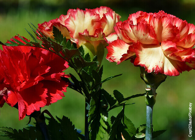 Foto de claveles rojos y blancos