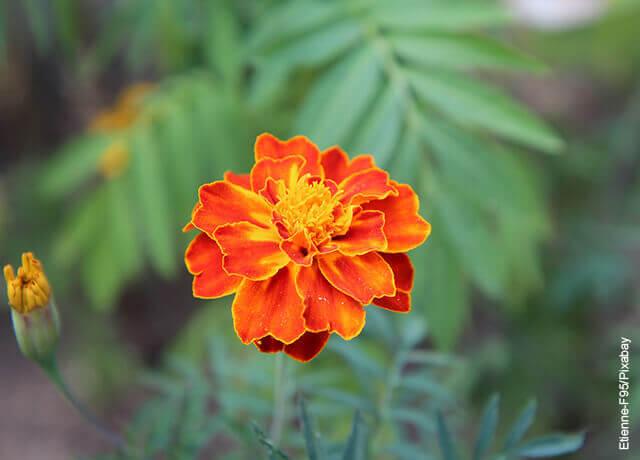 Foto de clavel naranja con rojo