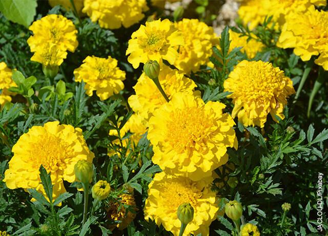 Foto de claveles amarillos