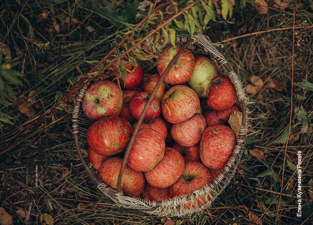 Foto de una canasta de manzanas