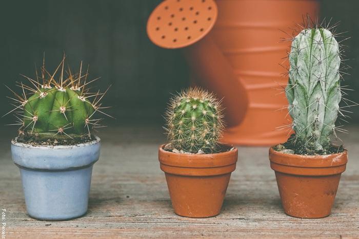 Foto de varios cactus para ilustrar cómo cuidar un cactus