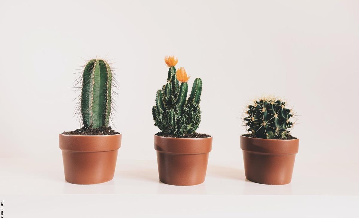 Cómo cuidar un cactus para que crezca saludable