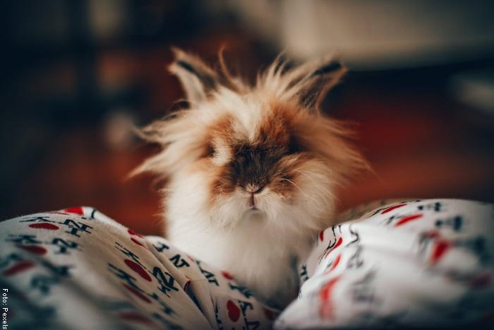 Foto de un conejo despeinado para ilustrar cómo cuidar un conejo