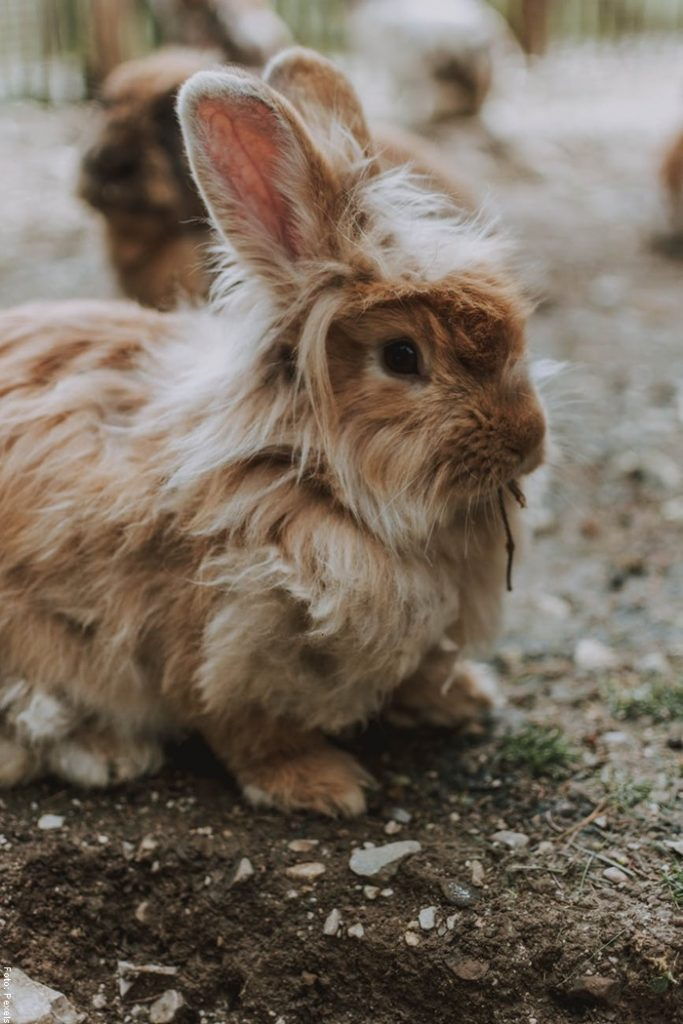Foto de un conejo de pelo largo para ilustrar cómo cuidar un conejo