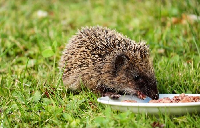 Foto de un erizo comiendo