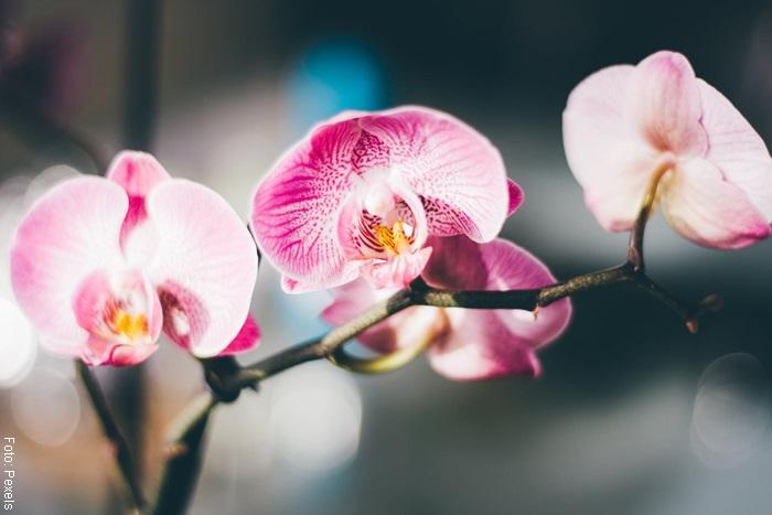 Foto de una orquídea en tono rosado y blanco