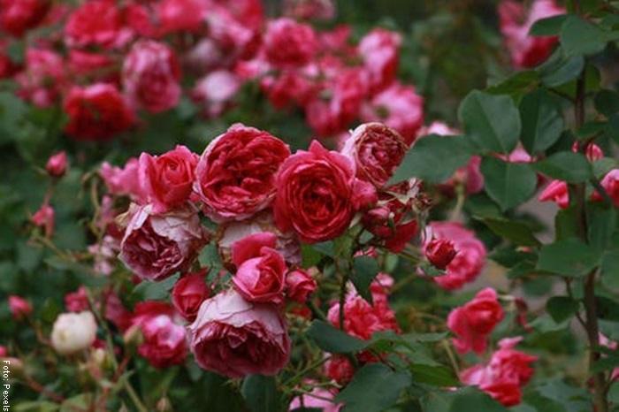Foto de un rosal para ilustrar el cuidado de las rosas
