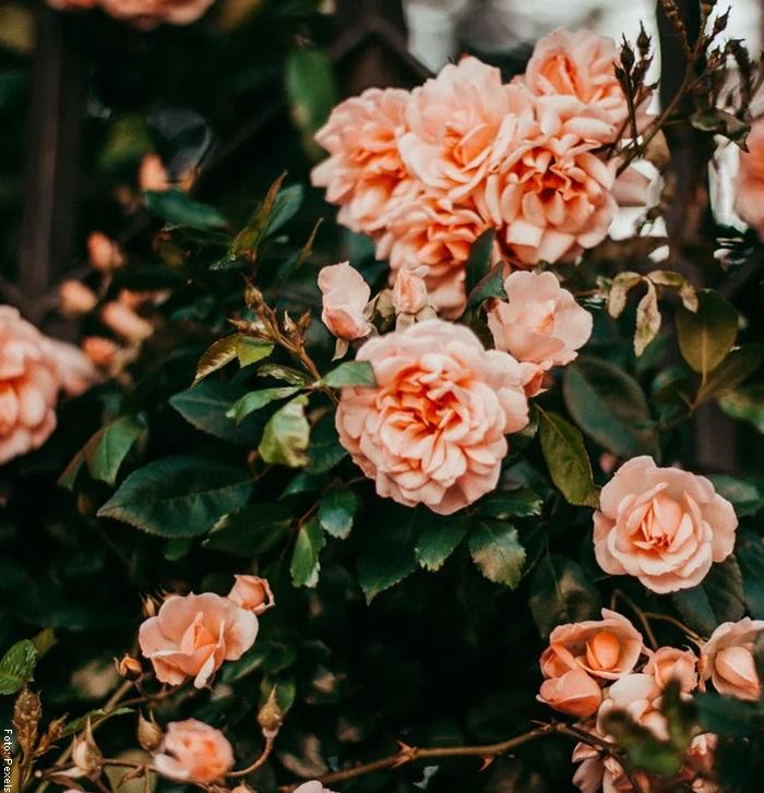 Foto de un rosal en un jardín