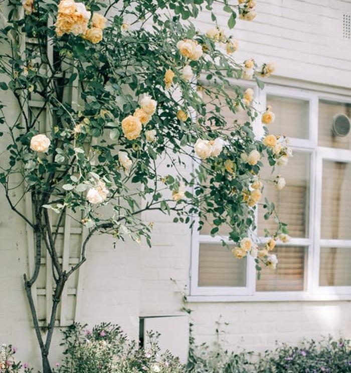 Foto de unas rosas amarillas