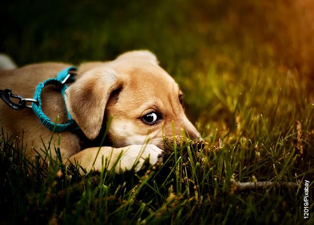 Foto de perro acostado que muestra los cuidados del césped artificial