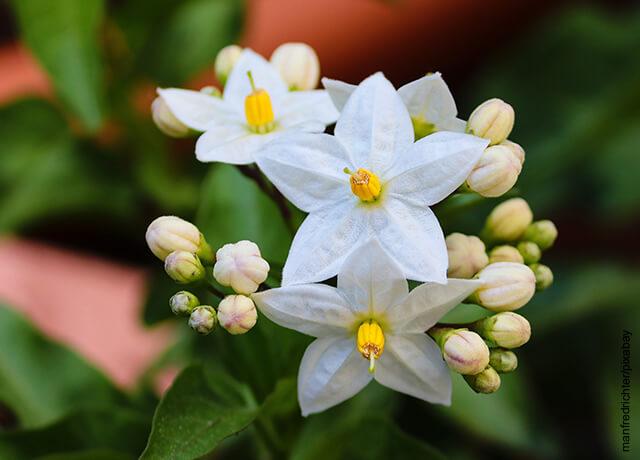 Foto de un jazmín y su flores que ilustran los cuidados del jazmín
