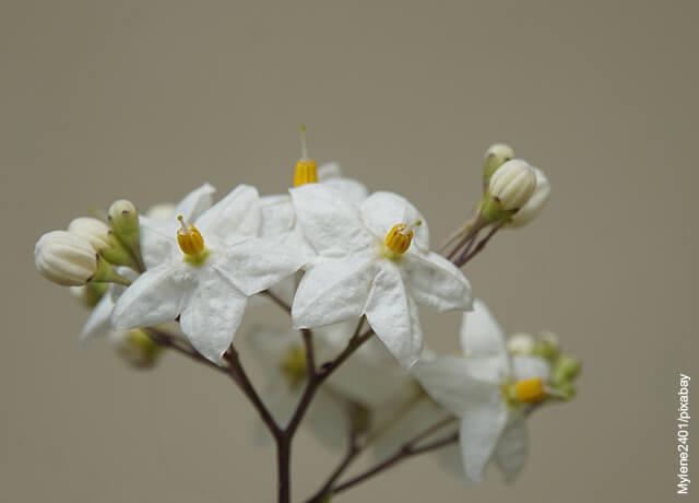 Foto de flor de jazmín en una maceta