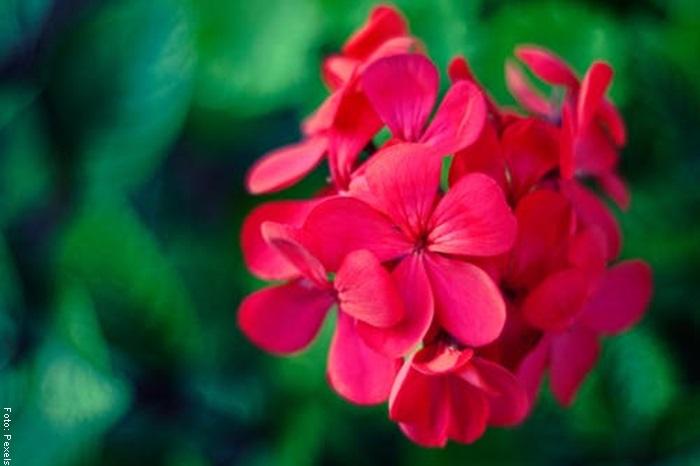 Foto de una flor de geranio