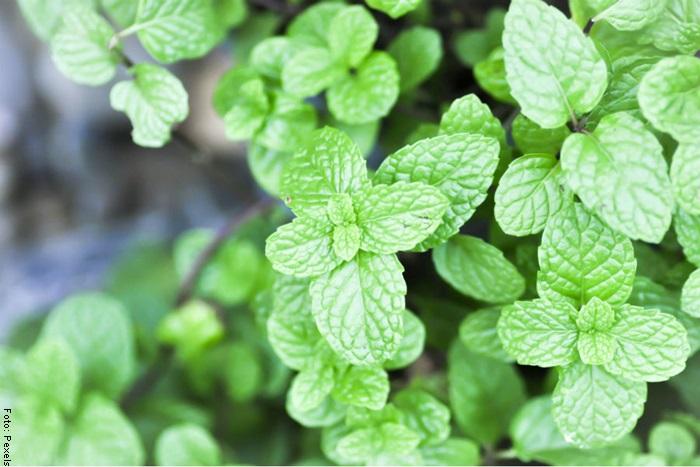 Foto de una planta para ilustrar hierbabuena cuidados