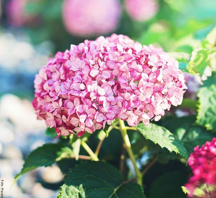 Foto de una hortensia para ilustrar sus cuidados