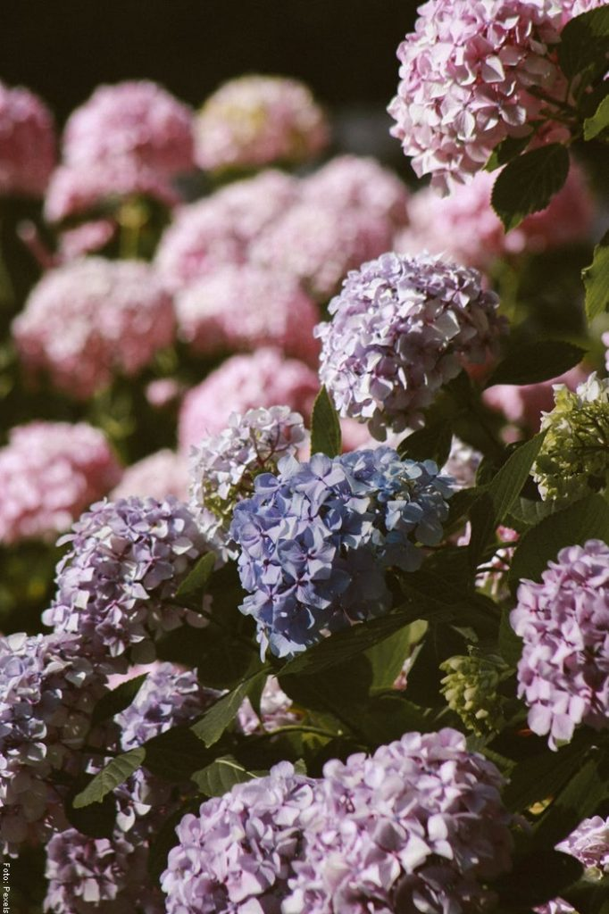 Foto de unas hortensias de diferentes colores