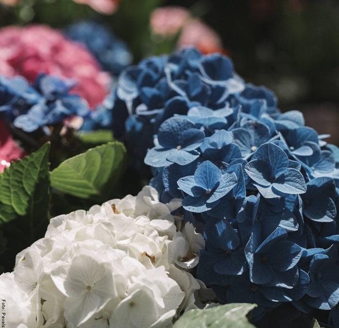 Foto de unas hortensias para ilustrar sus cuidados