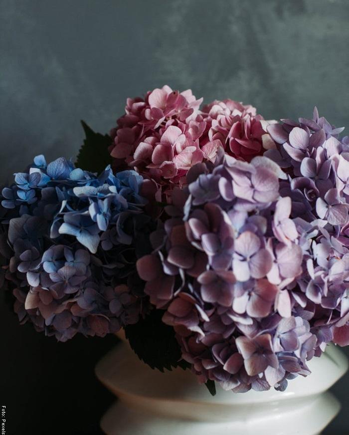 Foto de una hortensia en maceta