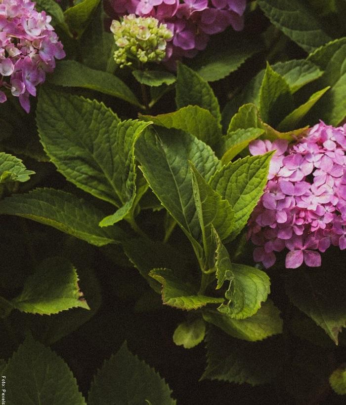 Foto de unas hortensias rosadas