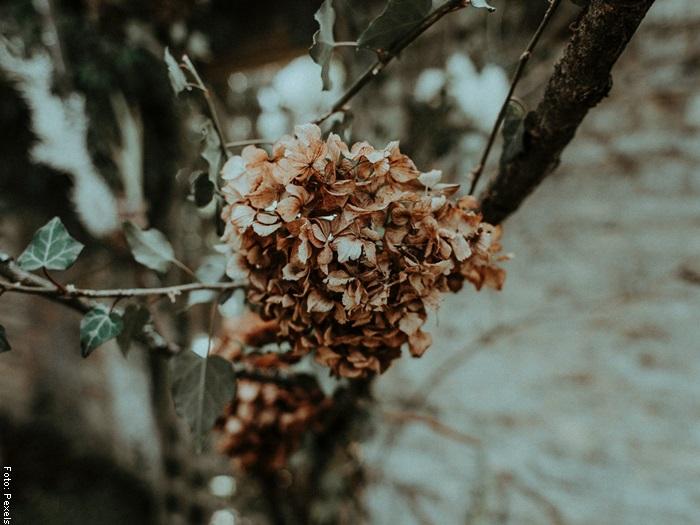 Foto de una hortensia marchita para ilustrar cuando se debe guardar